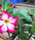 adenium floracion