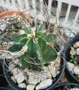 astrophytum-capricorne-senile