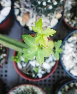 cissux cuadrangularis