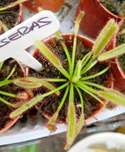 drossera capensis 1
