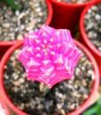 injerto color rosa