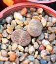 lithops (piedras vivas)