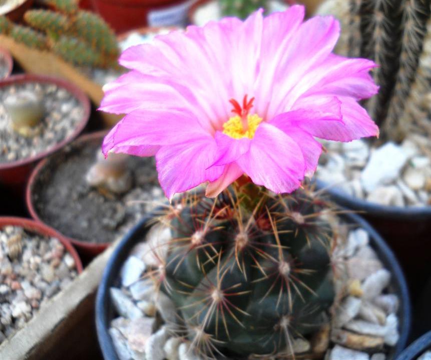 thelocactus bicolor en flor