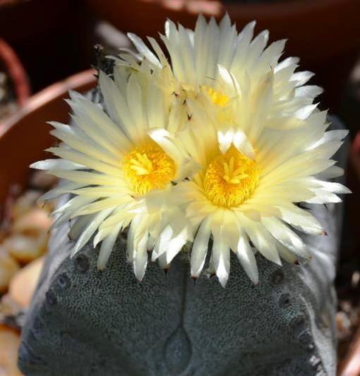 astro miriostigma cuadricostatum en flor