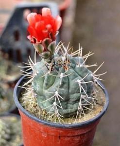cactus_gymnocalycium marianae