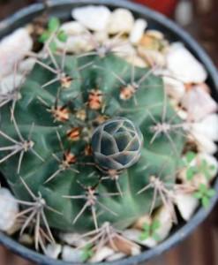 gymnocalycium marianae flor roja