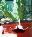 huernia aspera o macrocarpa(Large)