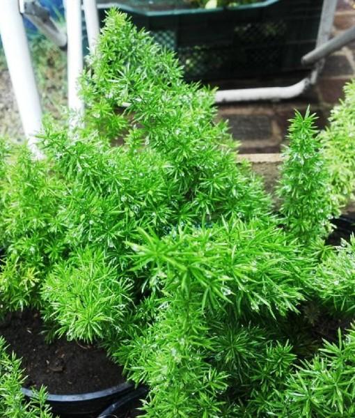 asparagus meyeri maceta 15 (Large)