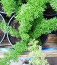 helecho asparagus meyeri (Large)