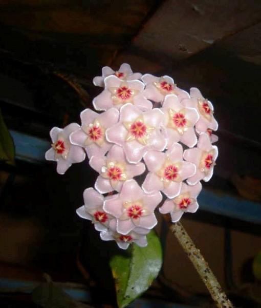 hoya carnosa flor