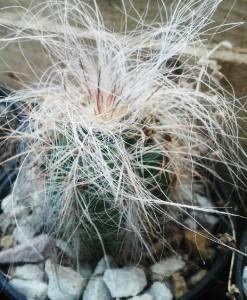 oreocereus celsianus