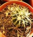 ferocactus latispinus flavispinus