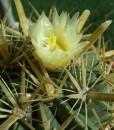 ferocactus latispinus floresn