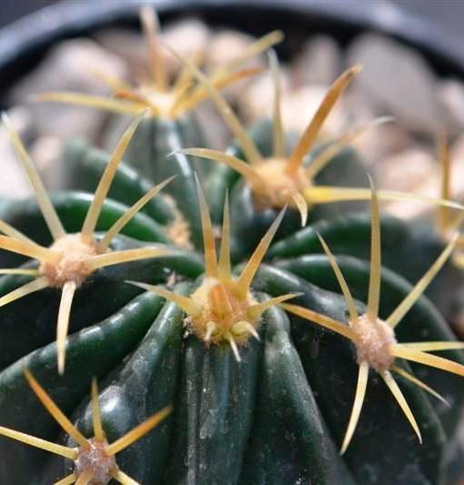ferocactus latispinus var flavispinus