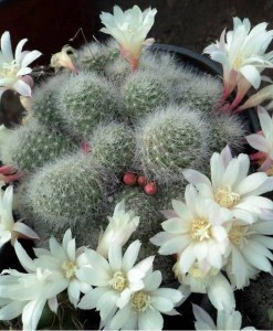 albiflora