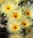 Notocactus uebelmaniannus en flor