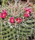 cactus_mammillaria magnimamma 1