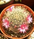 mammilalria bocassana roseiflora