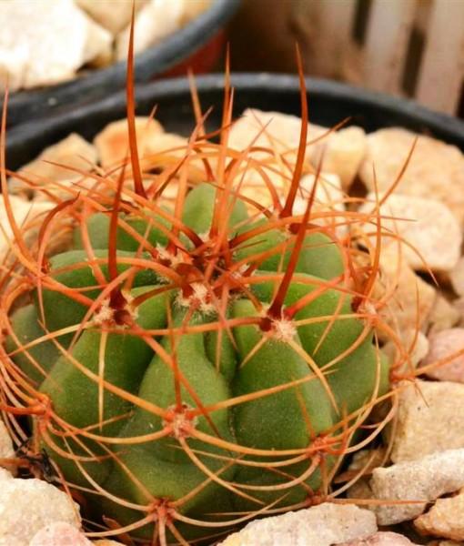 Cardon trichocereus terscheskii de semilla)