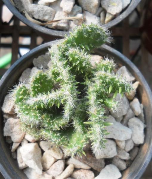 opuntia subulata crestada