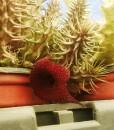 huernia echidnopsioides