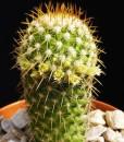 Mammillaria_eriacantha_87673