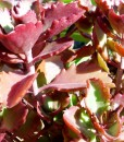 Kalanchoe sexangularis