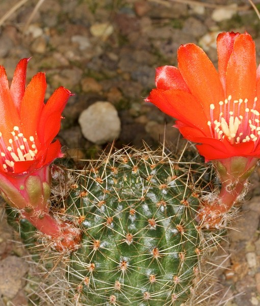 Rebutia_brunnescens_pm