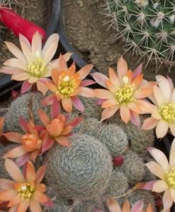 Rebutia cv sunrise en flor