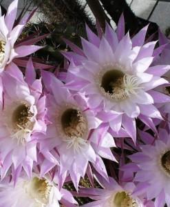 Echinopsis_multiplex
