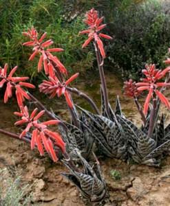 Aloe-variegata-–-Tiger-Aloe-Partridge-Breast-Aloe-1