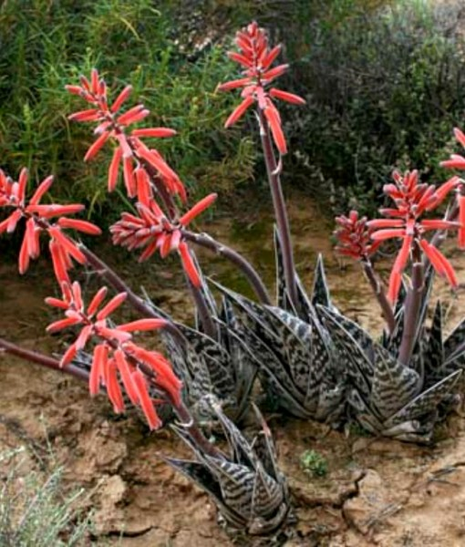 Aloe-variegata-–-Tiger-Aloe-Partridge-Breast-Aloe-1