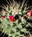 Mammillaria Magnimama