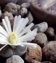 lithops flor blanca