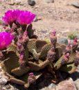 opuntia basilaris flor