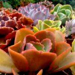 echeverias presentes en la 5 expo cactus villa maria