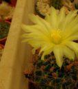 thelocactus-setispinus-amarillo2
