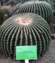 Echinocactus-grusonii-var.-subinermis-5