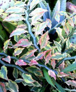 pedilanthus tithymaloides variegatus1