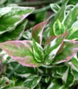 pedilanthus tithymaloides variegatusb