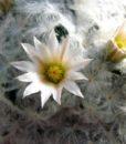 3 Mammillaria_plumosa01