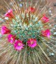 Mammillaria-magnifica1