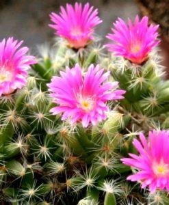 Trichodiadema-densum-Miniature-Desert-Rose1