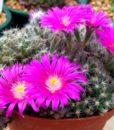 Trichodiadema-densum-Miniature-Desert-Rose2