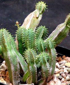 Euphorbiajansenvilliensis.g