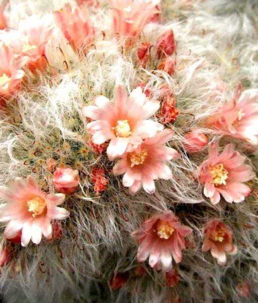 Mammillariabocasanavsplendens1-vi