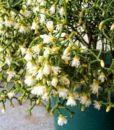 Rhipsalis-cereuscula-Coral-Cactus4
