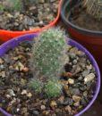 rebutia albniflora