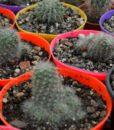 rebutias albiflora