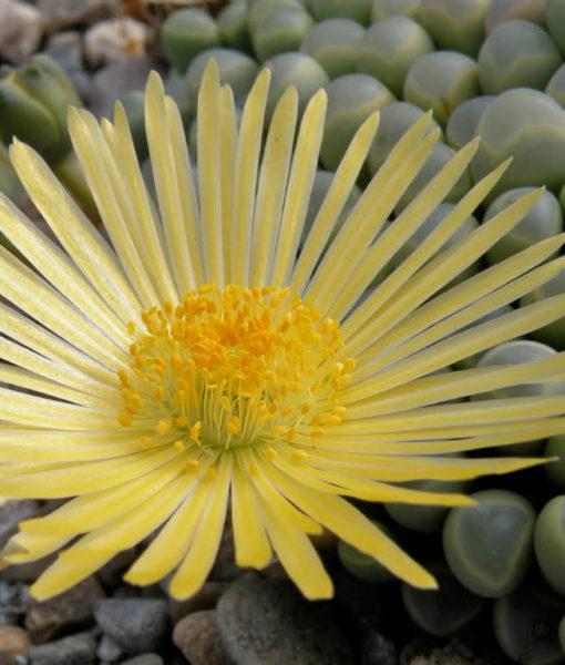 9 1 Fenestraria-rhopalophylla-Flower2